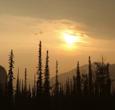 black spruce essential oil 2