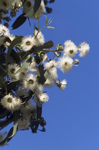 blue gum eucalyptus essential oil