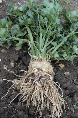 celery CO2 extract