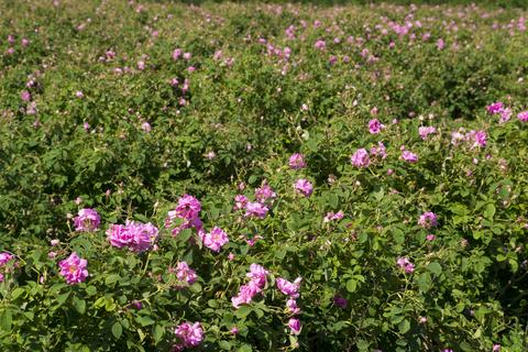 geranium & rose co-distillation essential oil 2
