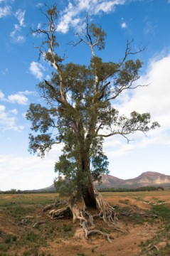 river red gum essential oil 2
