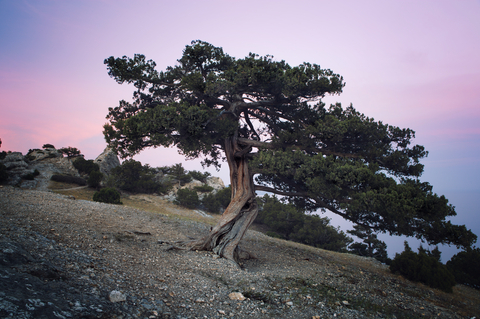 dwarf mountain juniper essential oil 2