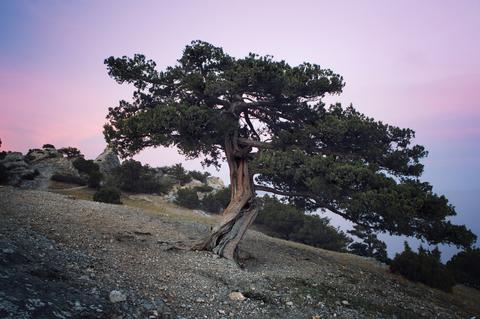 dwarf mountain juniper essential oil 2