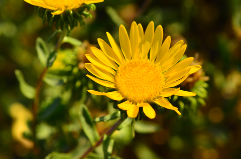 grindelia essential oil