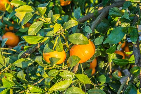 honey tangerine essential oil