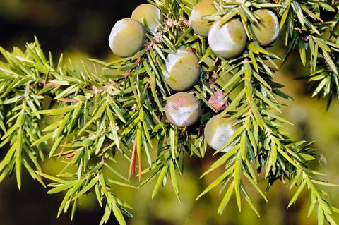 juniper essential oil 2