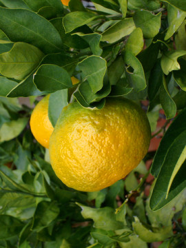 bitter orange essential oil 2
