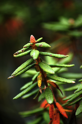 labrador tea essential oil 2