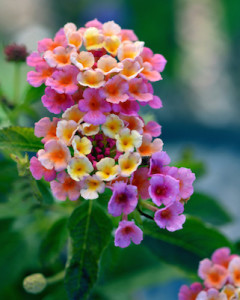 lantana essential oil 2
