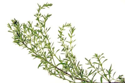 mountain savory essential oil 2