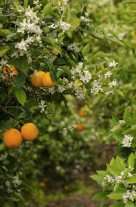 neroli essential oil 2