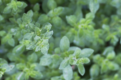 oregano essential oil 2