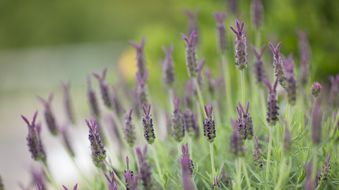 spike lavender essential oil 2