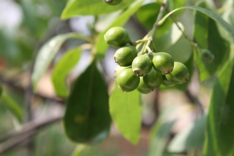 sandalwood indian essential oil 2