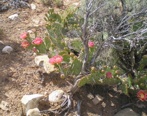 prickly pear botanical oil 2