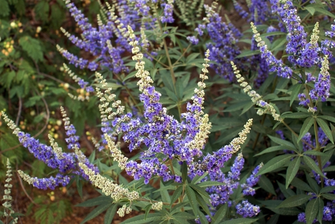 vitex essential oil 2