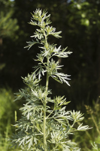 wormwood essential oil 2