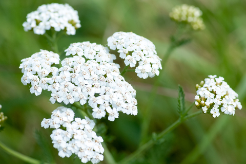 yarrow essential oil 2
