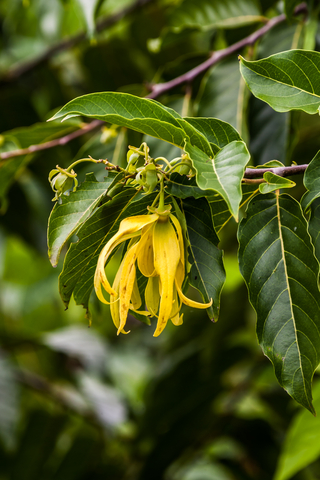 ylang ylang essential oil 2