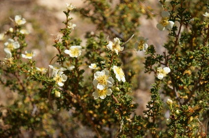 cliffrose flower essence 3