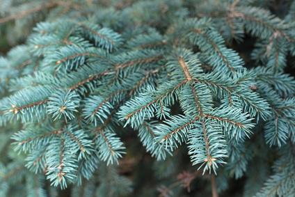 Blue Spruce Essential Oil