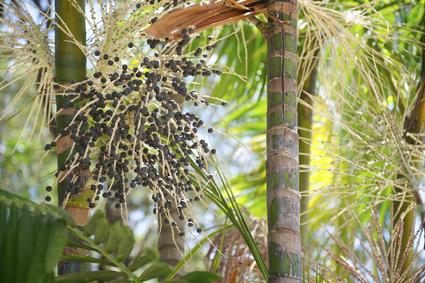 acai seed botanical oil