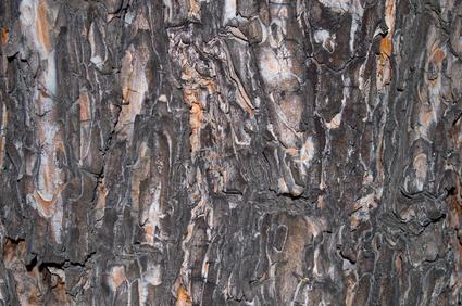 Black Spruce Bark Essential Oil