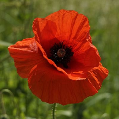Poppy Flower Essence