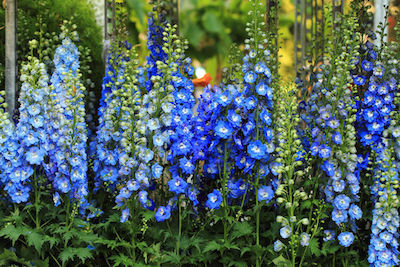 Delphinium Flower Essence