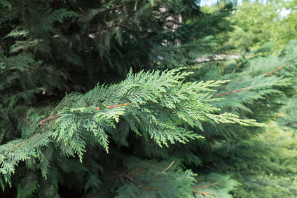 Weeping Cedar Essential Oil