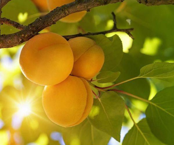 Apricot Essential Oil Melange