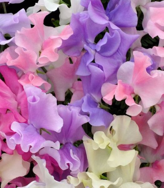 sweet-pea-natural-melange