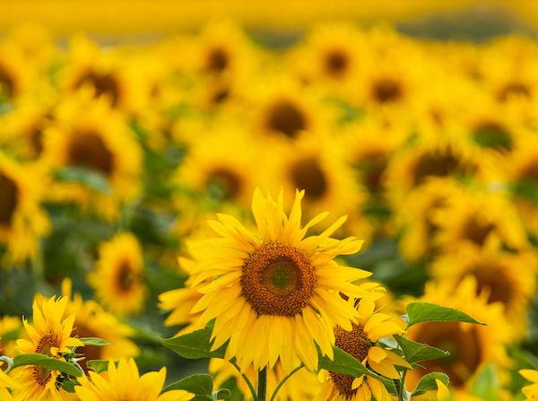 sunflower seed botanical oil